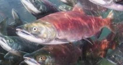 Minyak Ikan Salmon